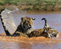 tigar-utapanje (4)