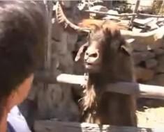 koza-svadja